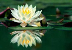 What does a lotus flower look like blurtit the water but the lotus grows on stems most of the lotus are 150 to 153 cm long and 3 to 4 meters wide and as evey said its scientific is nelumbo mightylinksfo