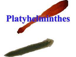 What is the importance of platyhelminthes?